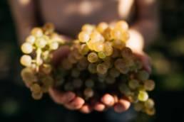 vin naba jurançon photographe clement herbaux octobre vendanges
